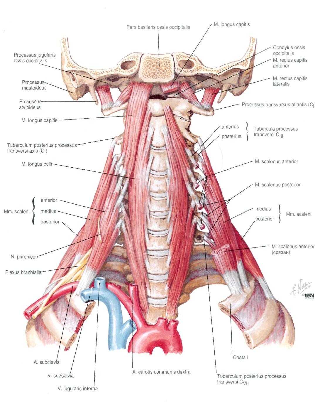 лебедь строение шеи человека фото с описанием спереди что